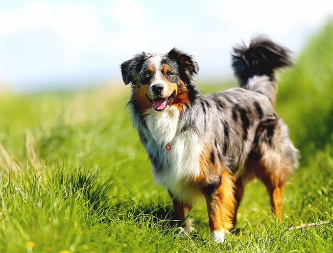 avustralya-çoban-köpeği