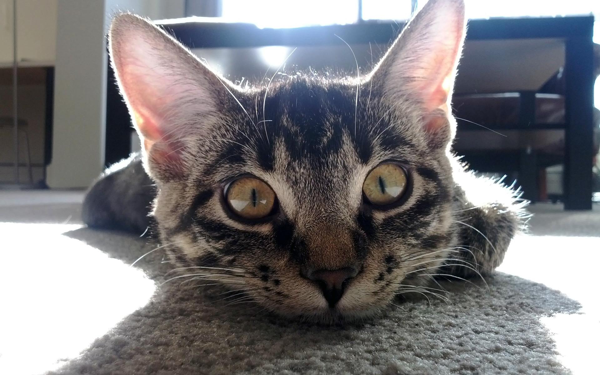 büyük-gözlü-kedi