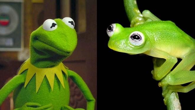Gerçek Kurbağa Kermit İle Tanışın