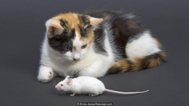 Toksoplazma gondii adı verilen parazit farenin beynine yerleştiğinde farede kedi korkusu kalmaz.