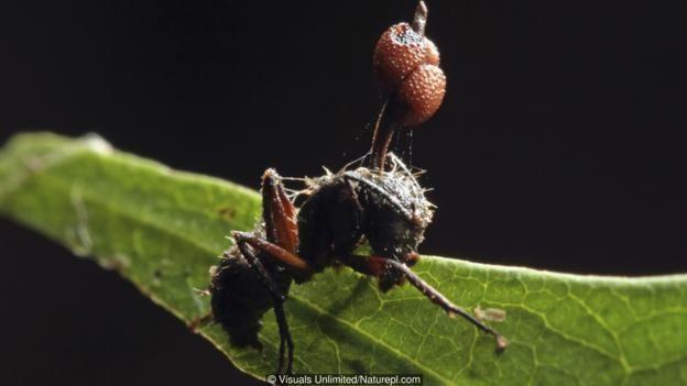 Bir parazit mantar, karıncanın beynine yerleşip onu kendi gelişimi için en uygun mekanlara sürükleyerek ölümüne neden olur.