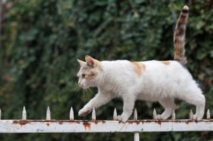 kedi-kuyruğu-denge