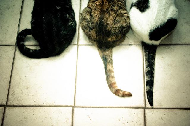 kedi-kuyrukları
