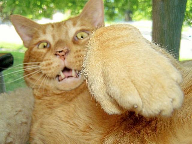 kedi-tırnağı