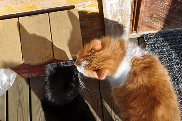 koklaşan-kediler