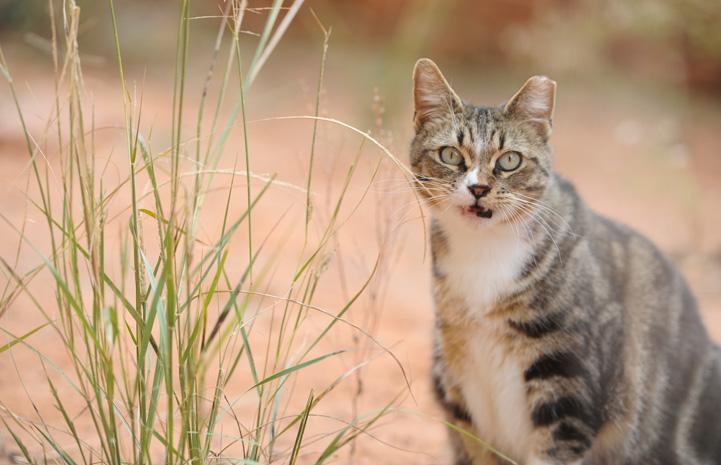 kulağı-kesik-dişi-kedi