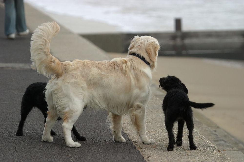 kuyruk-sallayan-köpekler