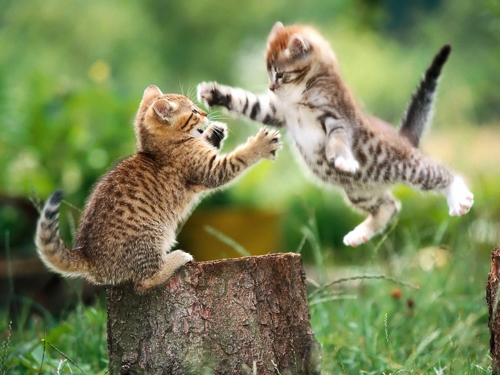 oyun-oynayan-yavru-kediler