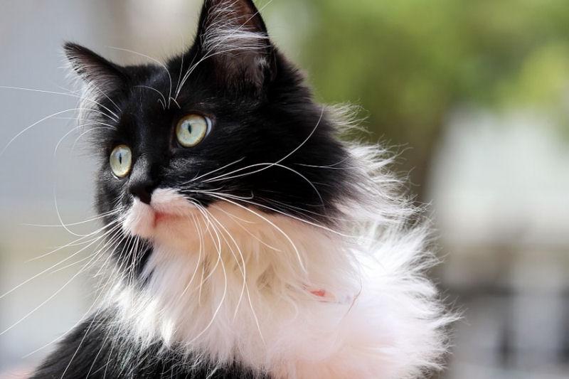 smokinli-kedi-2