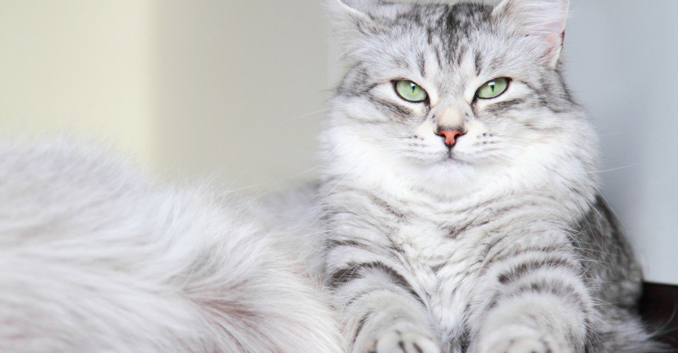 tüylü-kedi-1