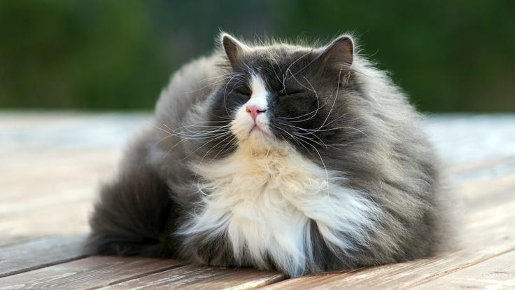 Kedilerin Tüyleri Yazın Terlemelerine Neden Olur Mu
