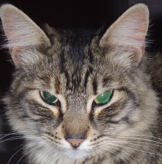 tekir-kedi-3