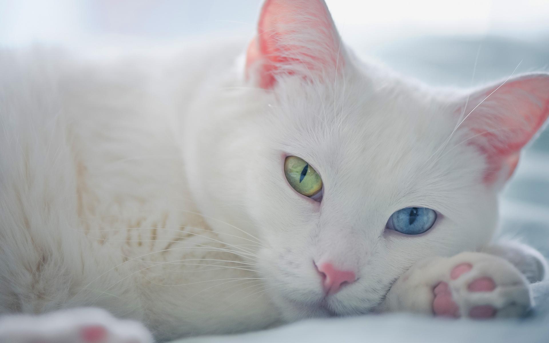 beyaz-kedi-1