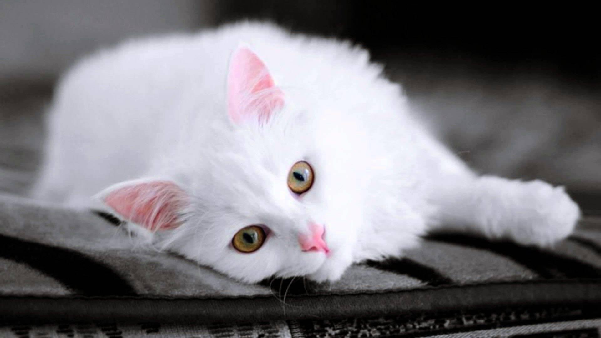 beyaz-kedi