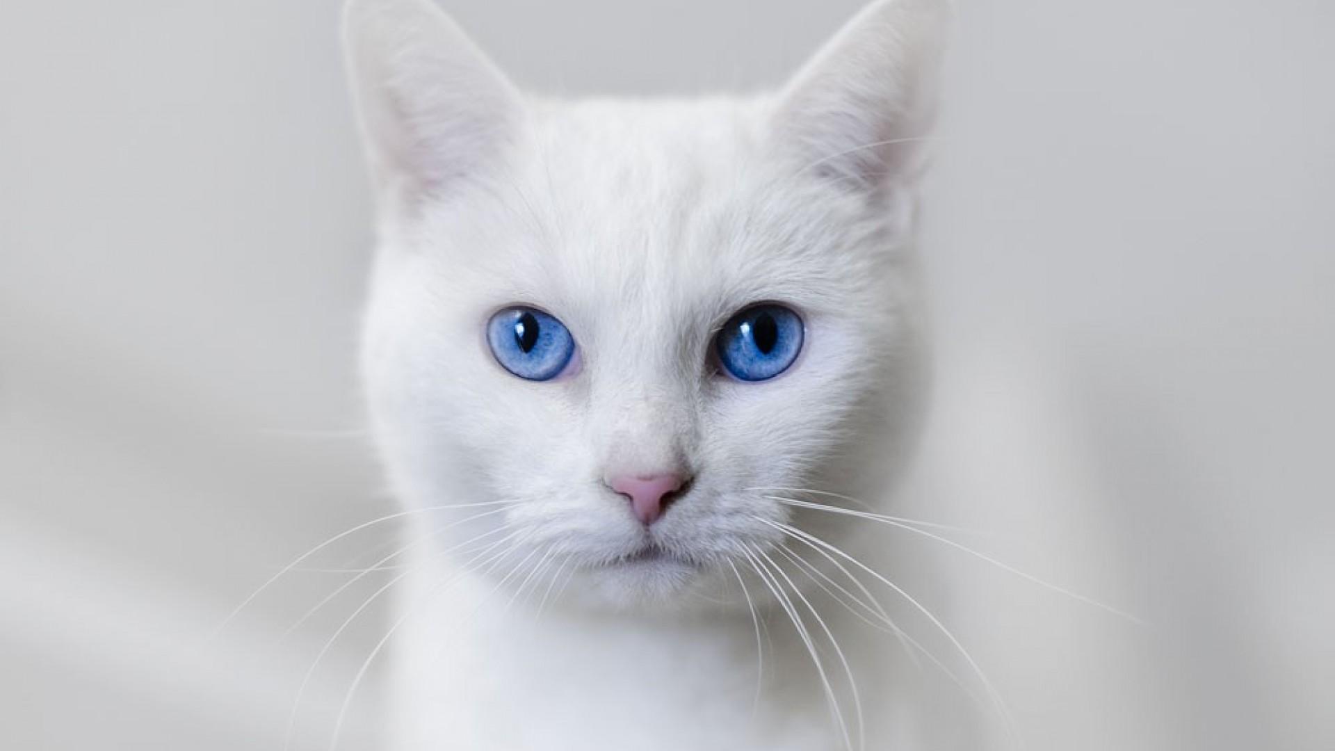mavi-gozlu-beyaz-kedi