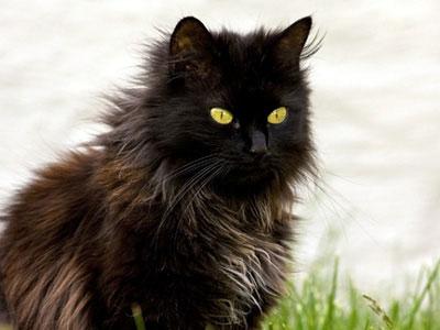 chantilly-tiffany-siyah-kedi