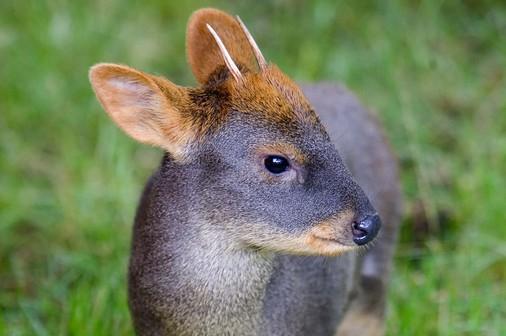 Dünyanın en küçük geyik cinsi Pudu