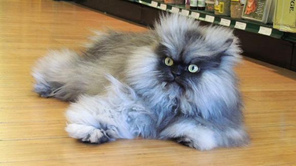 kedi-colonel-meow