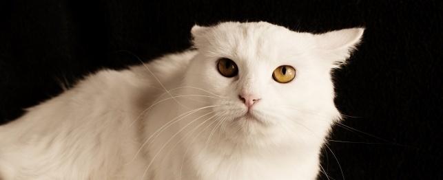 kedilerin-kulak-hareketlerinin-anlamlari