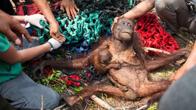 nutella-orangutan