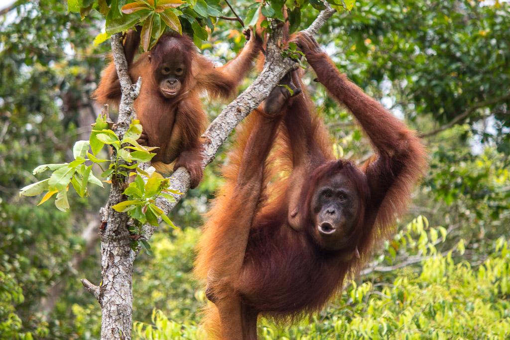 orangutanlar-1