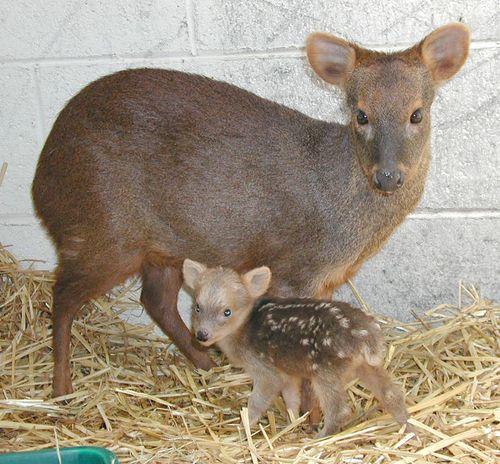 pudu-ve-yavrusu