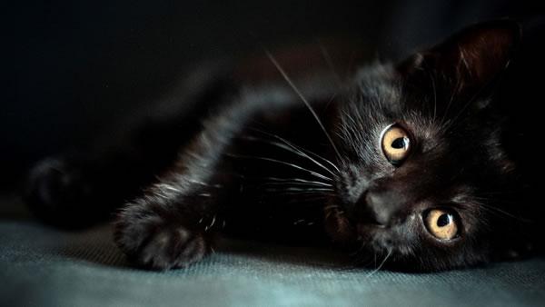 sari-gozlu-siyah-kedi
