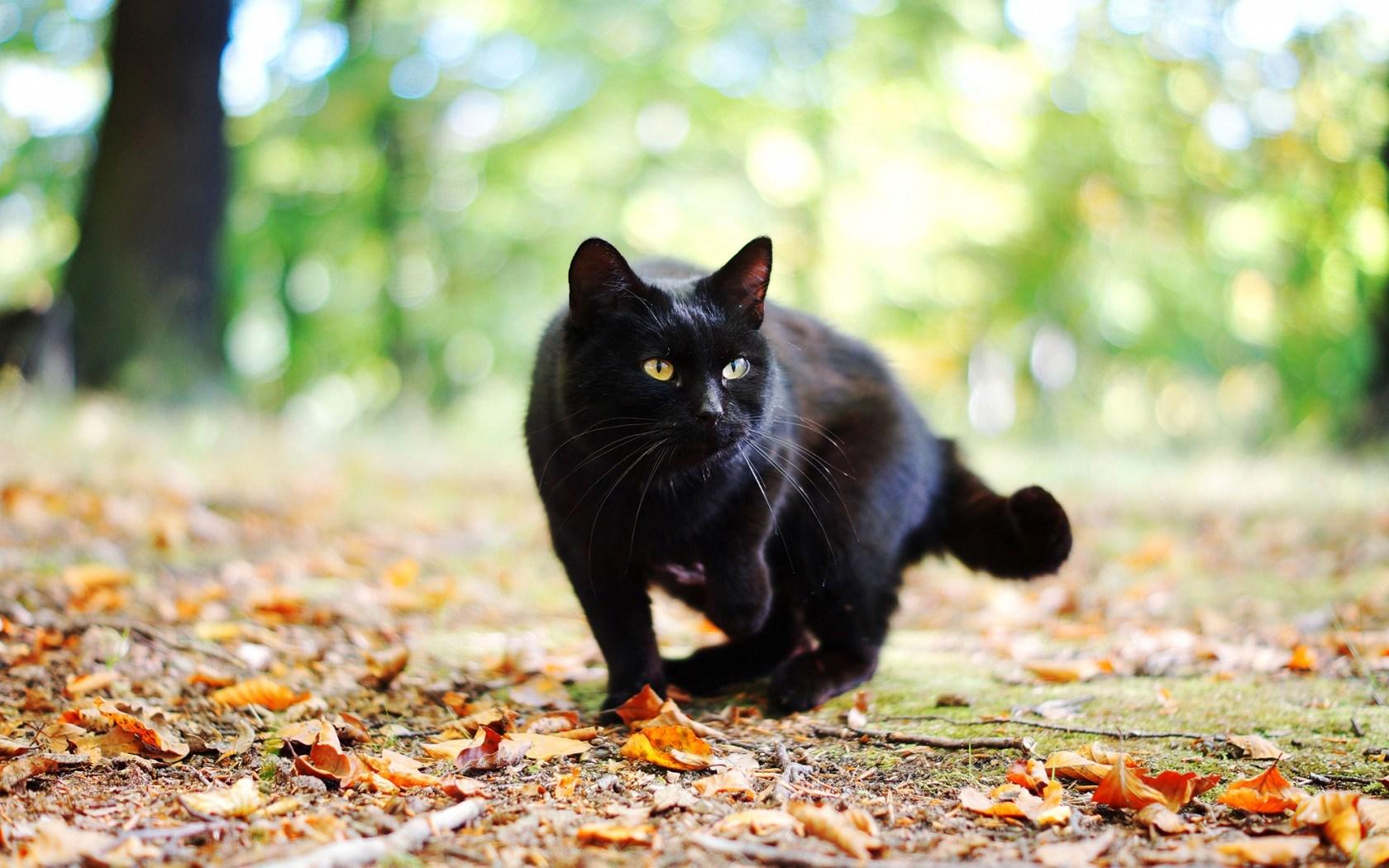 siyah-kedi