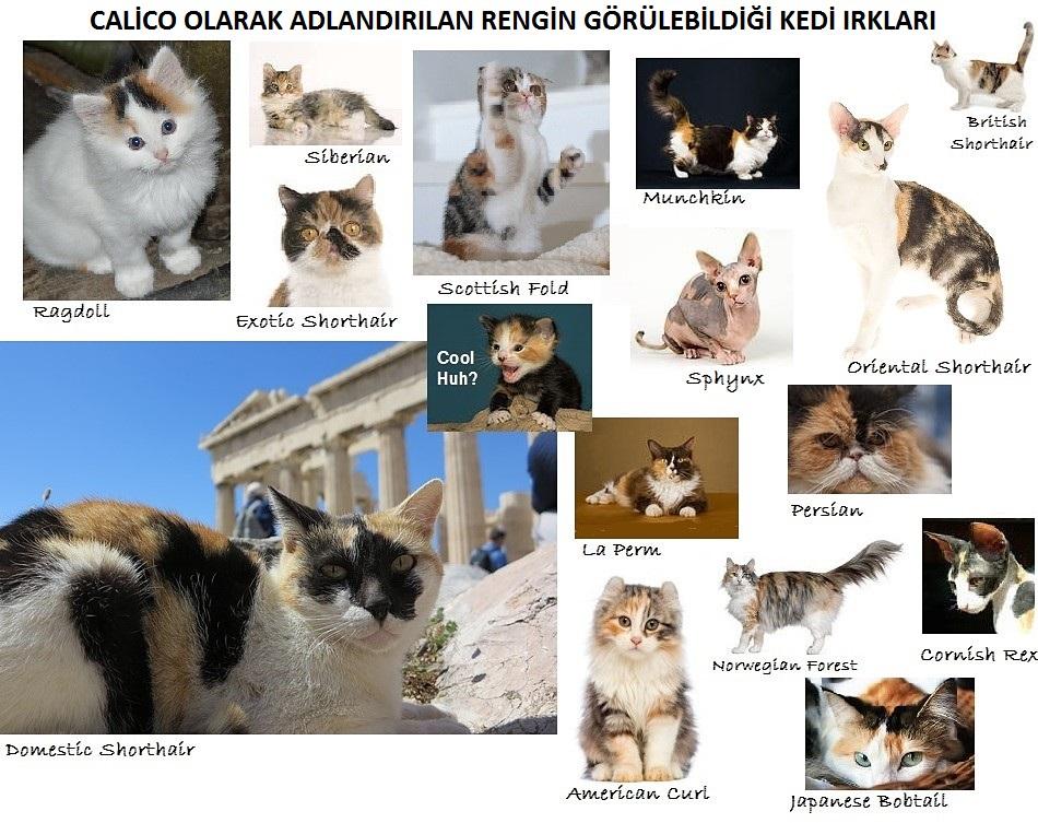 calico-kedi-irklari