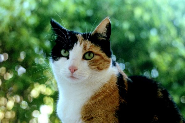 calico-kedisi-2