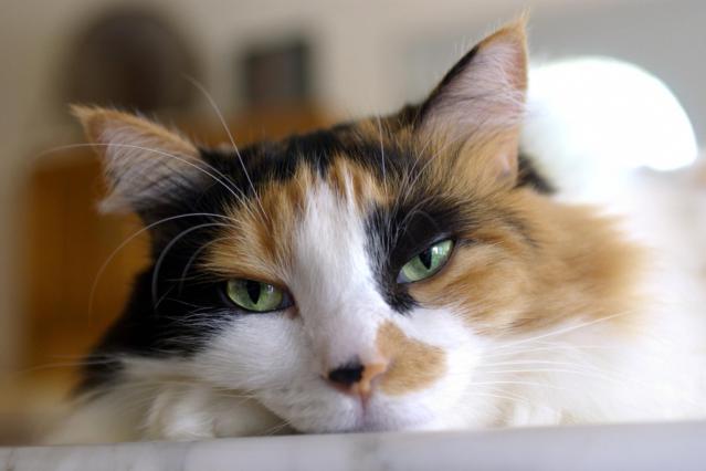 Calico kedisi