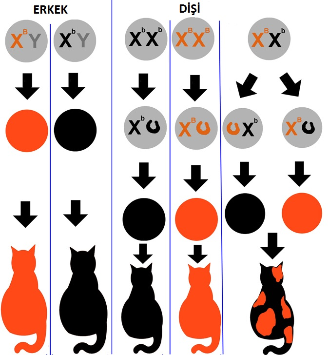 calico-kromozom