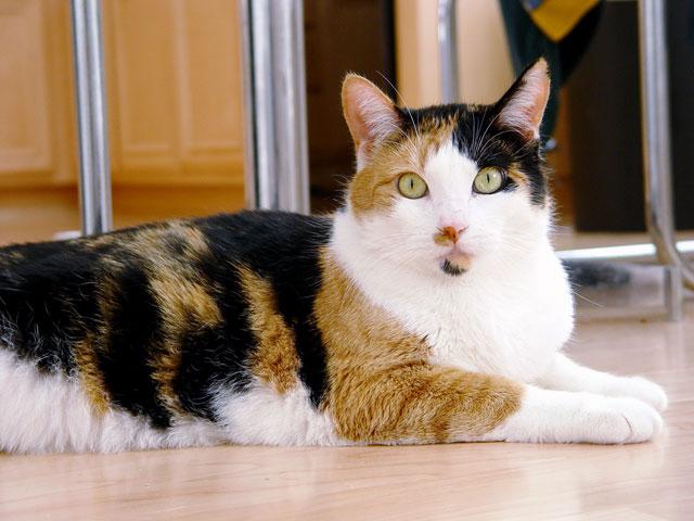 erkek-calico-kedisi