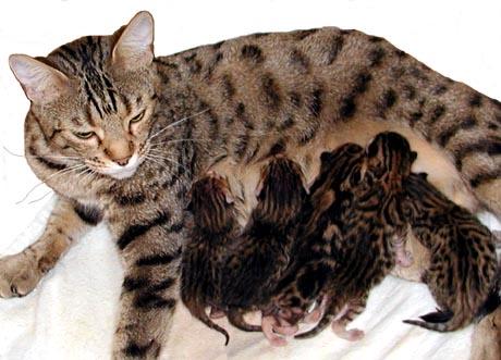 yavrularini-emziren-anne-kedi