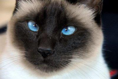 sasi-siyam-kedisi