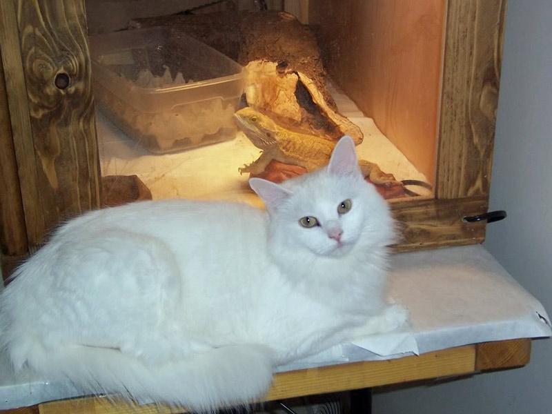 albino-kedi