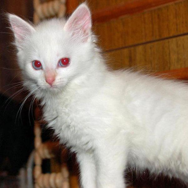 albino-yavru-kedi