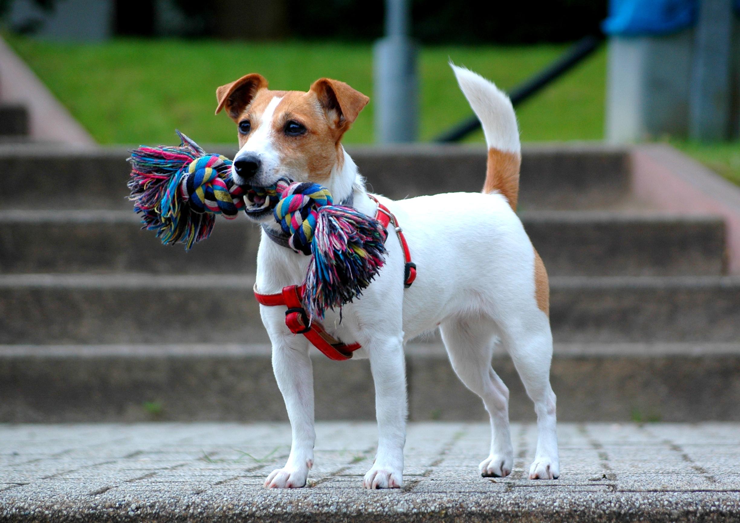 dunyanin-en-uzun-yasayan-kopekleri-jack-russell-terrier