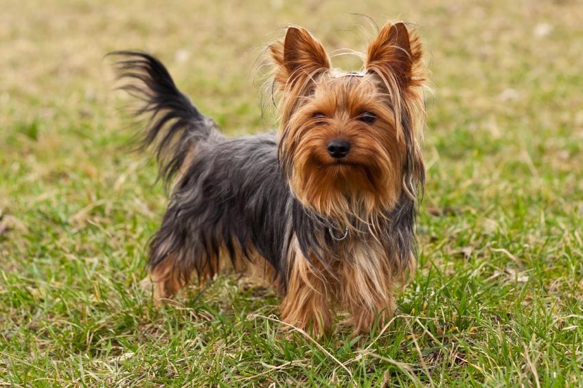 dunyanin-en-uzun-yasayan-kopekleri-yorkshire-terrier
