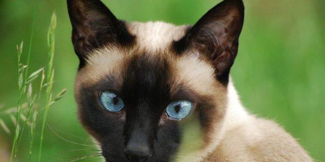 Siyam kedileri neden şaşıdır