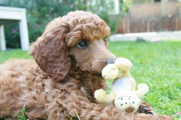 en-uzun-yasayan-kopekler-oyuncak-poodle
