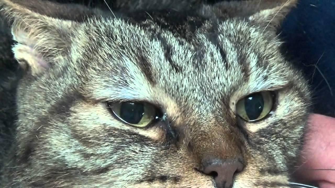 Kedilerde Ağrının 5 Belirtisi