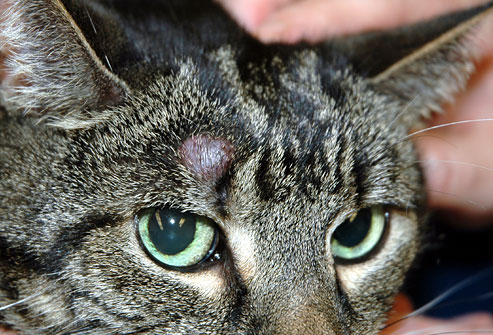 Cat Scab Above Eye