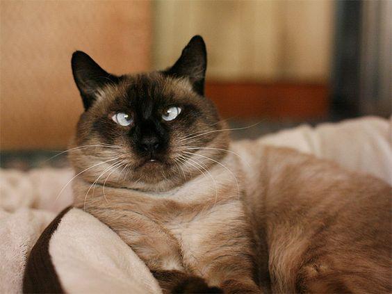 siyam-kedileri-neden-sasi