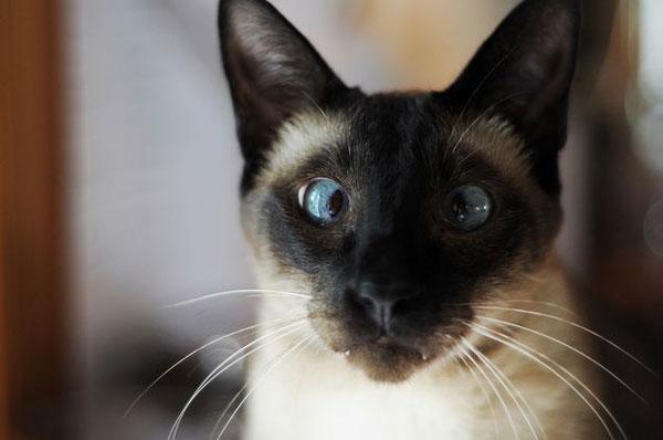 siyam-kedileri-neden-sasidir