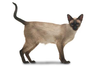 siyam-kedisi
