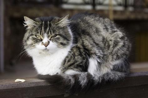 yasli-kedi