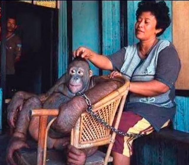 Seks Kölesi Olarak Kullanılan Orangutan Pony'nin Kurtuluş Öyküsü 94