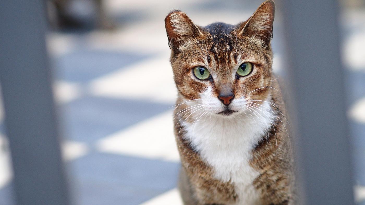 Kedi hıçkırığı hakkında bilmeniz gerekenler
