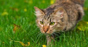 Kedilerin Neden Bıyıkları Vardır?
